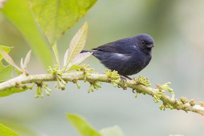 White-sided Flowerpiercer - Paz De Aves (Ant Hill Pass), Ecuador
