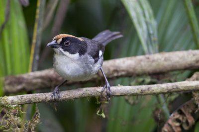 White-winged Brushfinch - Tandayapa Lodge, Ecuador.