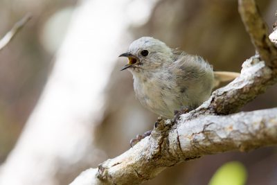 Whitehead  - Titititi Matungi Island, NZ
