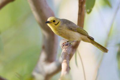 Yellow-tinted Honeyeater (Lichenostomus flavescens flavescens) - Three-ways, NT (3)