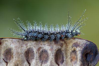 Amazon Caterpillar