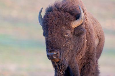 American Bison (Profile)