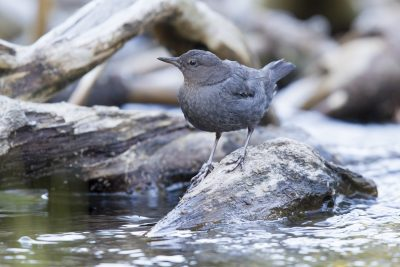 American Dipper - Lassen Volcanic National Park, California
