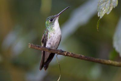 Andean Emerald (Female) - Tandayapa Lodge, Ecuador