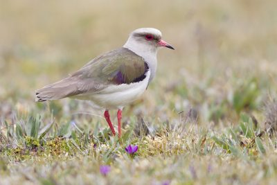 Andean Lapwing.
