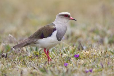 Andean Lapwing1