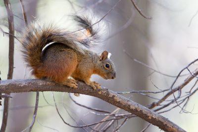 Apache Fox Squirrel