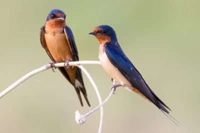 Barn Swallow (Pair)