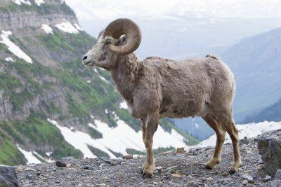 Big Horn Sheep (Massive Ram) - Glacier National Park, Montana