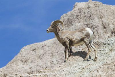 Big Horn Sheep (Ram) - Bad Lands National Park, South Dakota