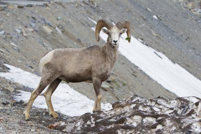 Big Horn Sheep (Ram) - Glacier National Park, Montana