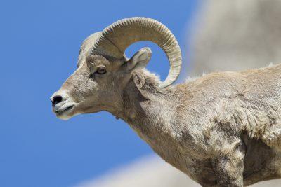 Big Horn Sheep (Ram Profile) - Bad Lands National Park, South Dakota