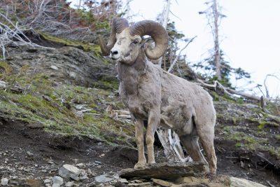 Big Horn Sheep (Ram1) - Glacier National Park, Montana