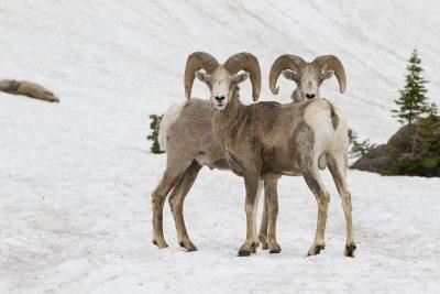 Big Horn Sheep (Rams in snow) - Glacier National Park, Montana.tif