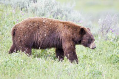 Black Bear (Cinnamon)