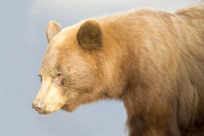 Black Bear (Cinnamon Profile)