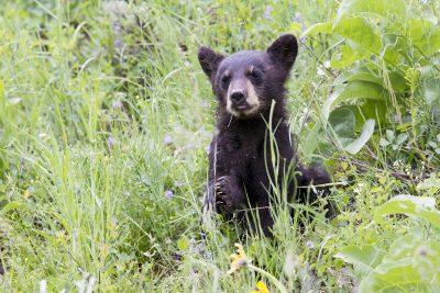 Black Bear (Cub Eating)- Yellowstone National Park, Wyoming