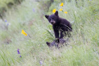 Black Bear (Cub) - Yellowstone National Park, Wyoming