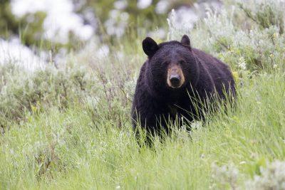 Black Bear Stare1 - Yellowstone National Park, Wyoming