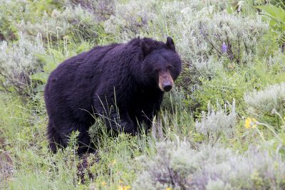 Black Bear - Yellowstone National Park, Wyoming