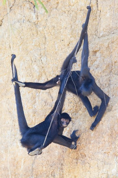 Black Spider Monkey (At clay lick)1