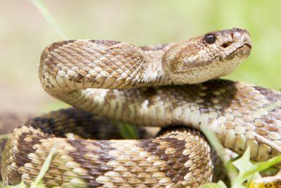 Black-tailed Rattlesnake (Close up)