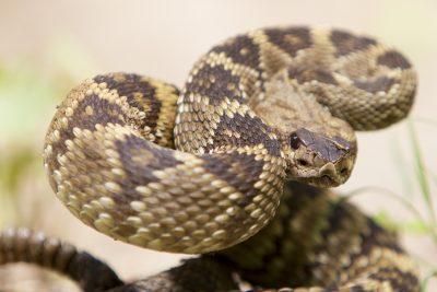 Black-tailed Rattlesnake (Strike Close up)