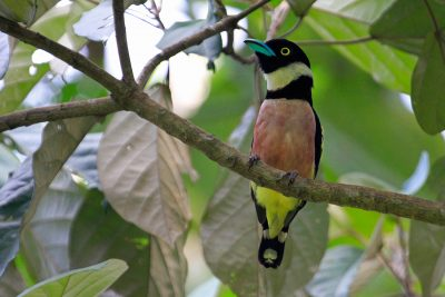 Black & Yellow Broadbill - Kinabatangan River (2)