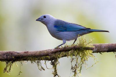 Blue-grey Tanager (Choco) - Tandayapa Lodge, Ecuador