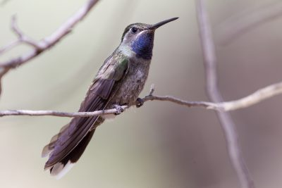 Blue-throated Hummingbird1