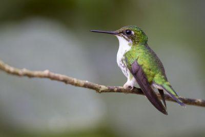 Booted Racket-tail (Female) - Tandayapa Lodge, Ecuador.
