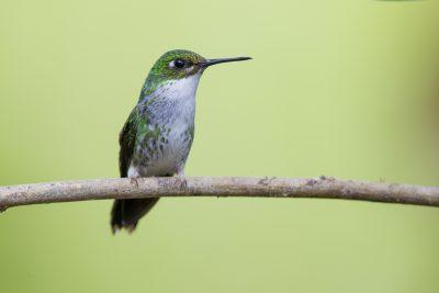 Booted Racket-tail (Female) - Tandayapa Lodge, Ecuador1