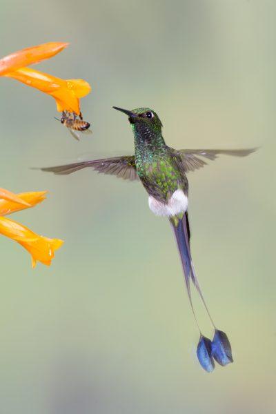 Booted Racket-tail (Male in flight) - Tandayapa Lodge, Ecuador.