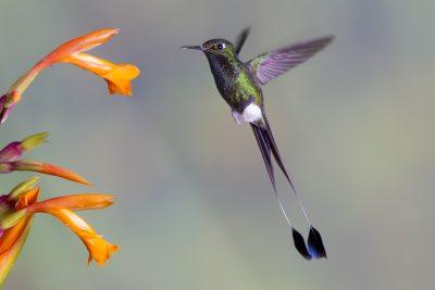 Booted Racket-tail (Male in flight) - Tandayapa Lodge, Ecuador