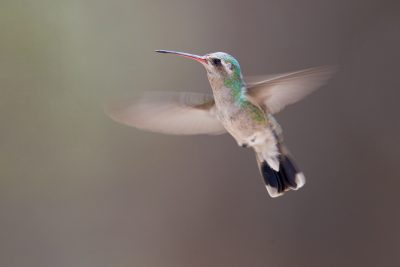 Broad-billed Hummingbird (Female)