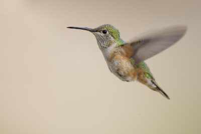 Broad-tailed Hummingbird (Female)1