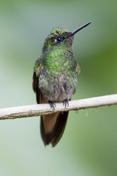 Buff-tailed Coronet (Juv) - Tandayapa Lodge, Ecuador