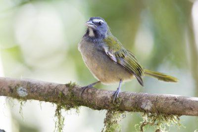 Buff-throated Saltator - Tandayapa Lodge, Ecuador.