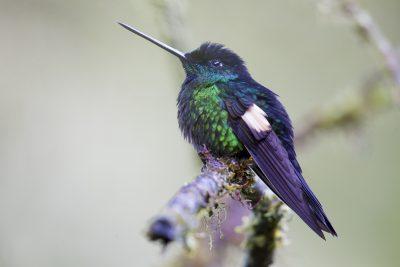 Buff-winged Starfrontlet (Male)