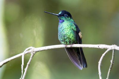 Buff-winged Starfrontlet (Male).