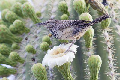 Cactus Wren (Saguaro Cactus)1