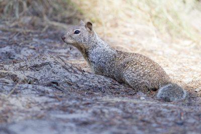 California Ground Squirrel2