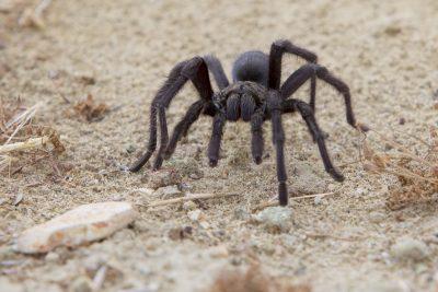 Californian Black Tarantula