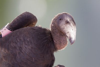 Californian Condor (Juv Profile)