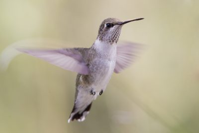 Calliope Hummingbird (Female in flight)