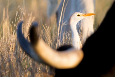 Cattle Egret (With Longhorns)