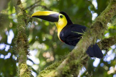 Choco Toucan - Milpe, Ecuador