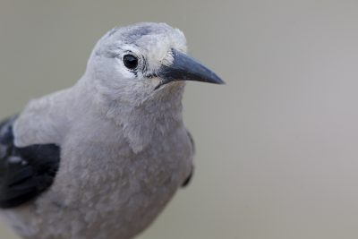 Clark's Nutcracker (Profile)