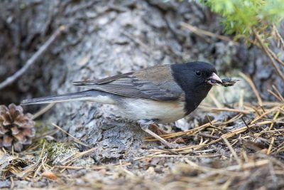 Dark-eyed Junco (Canadian Rocky Mountains) - Jasper National Park, Canada