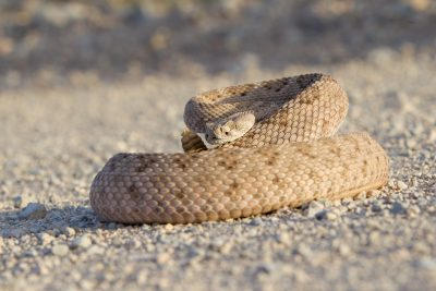 Diamond-backed Rattlesnake